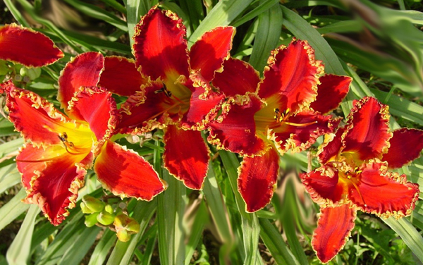 how to clean up daylilies